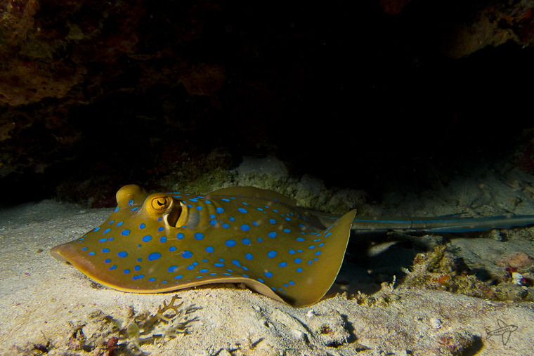 photo of the day // bluespotted ribbontail ray